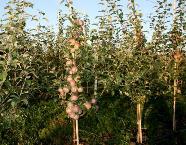 Молодые деревья яблонь Фуджи