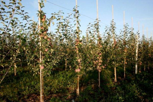 Молодой яблоневый сад, сорт Фуджи