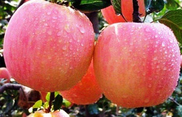 Яблоки Фуджи на дереве