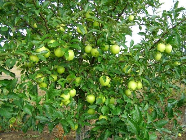 Яблоки в период созревания