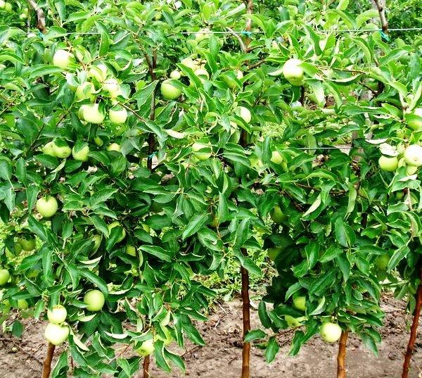 Плодоношение яблони Голден Делишес