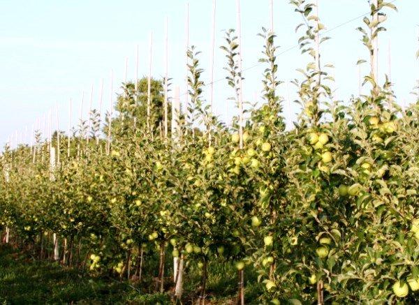 Сад из яблони Голден Делишес