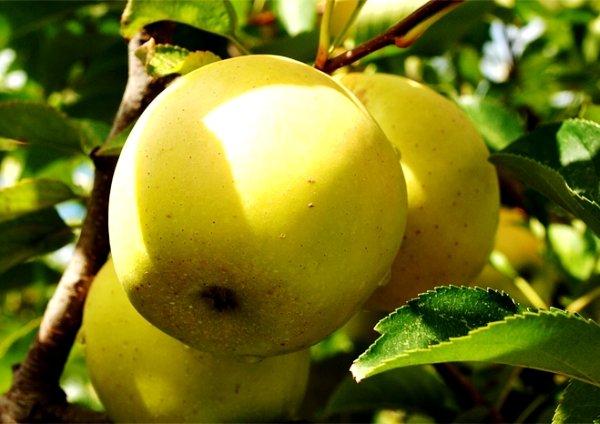 Яблоки на ветке дерева