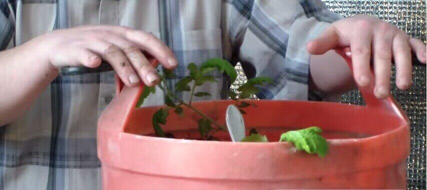 бочка с ростками помидоров