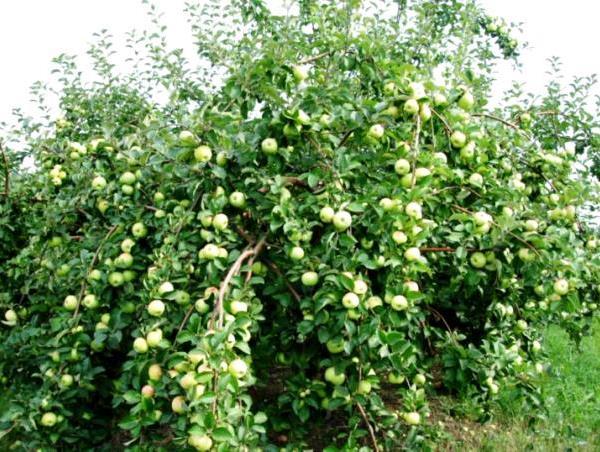 Дерево яблони Богатырь с плодами