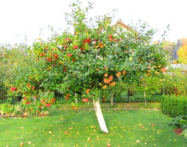 Дерево яблони сорта Уэлси