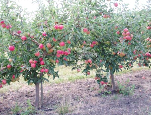 Деревья яблони сорта Флорина