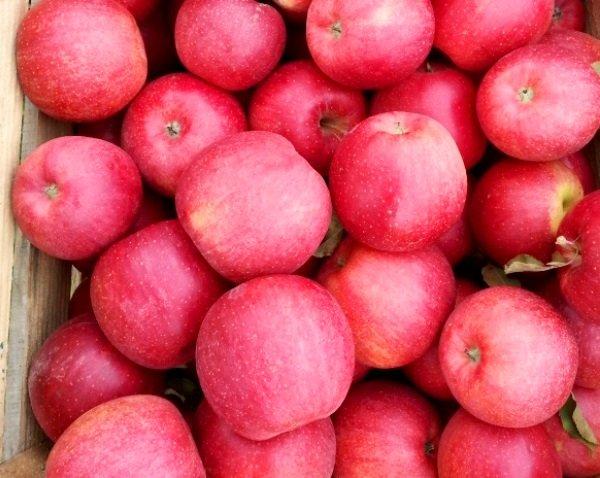 Собранный урожай яблок Флорина