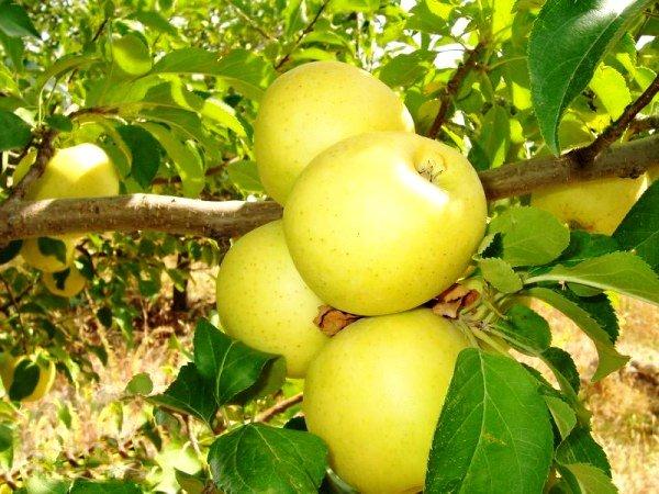 Яблоки сорта Голден Делишес