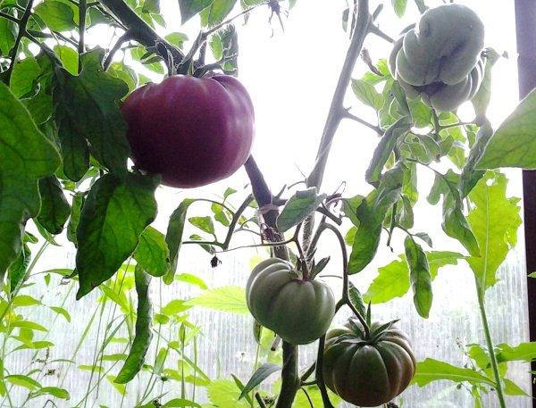 Куст помидоров в два стебля