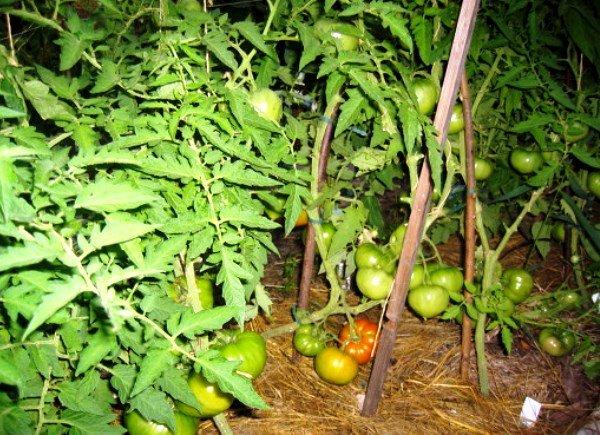 Кусты помидоров с незрелыми плодами