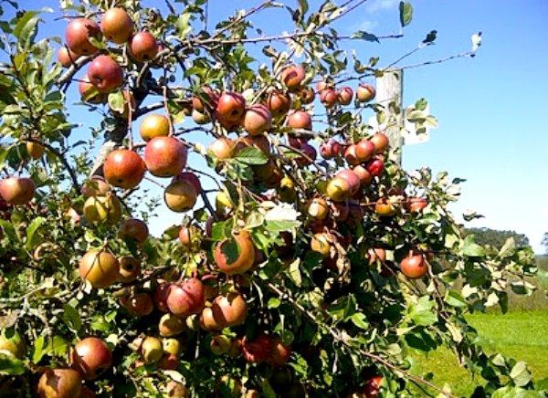 Зрелые яблоки на ветках