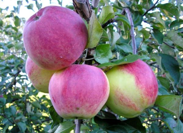 Плоды яблони сорта Уэлси