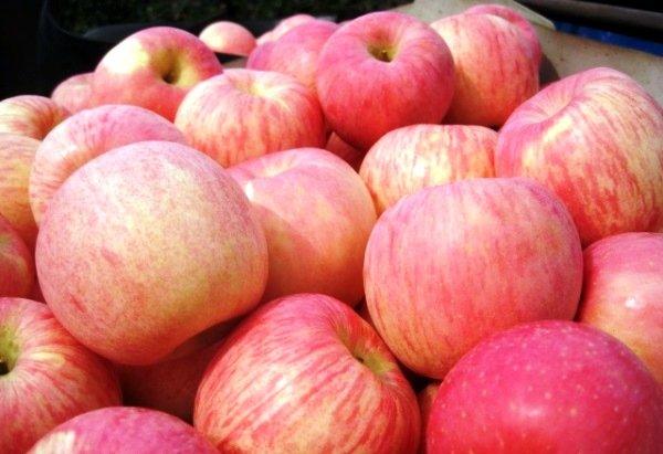 Спелые плоды яблони Фуджи