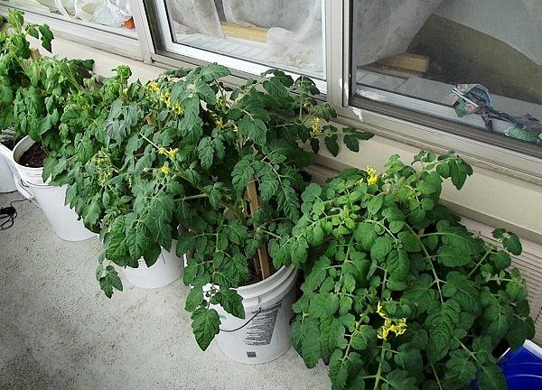 цветущие растения сорта Балконное чудо