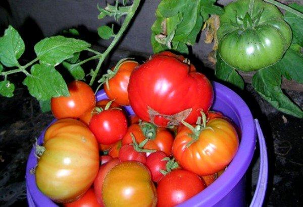 Урожай томатов Медвежья лапа