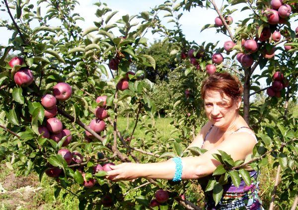 Урожай яблок на одном дереве