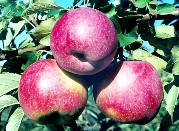 Зимние яблоки сорта Флорина