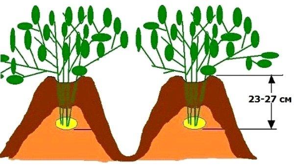 Технология правильного окучивания картофеля