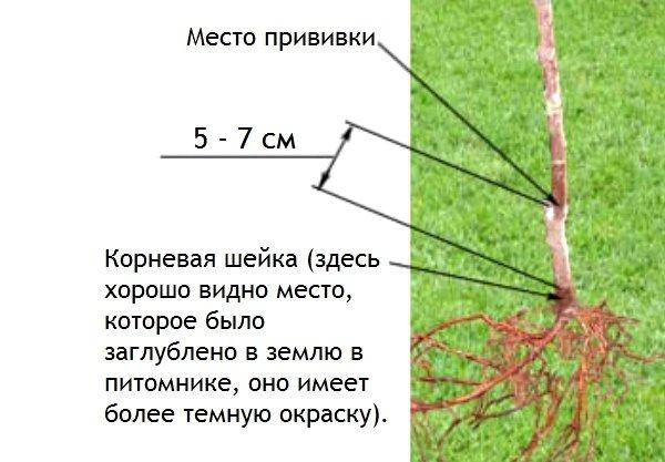 Определение глубины посадки деревьев