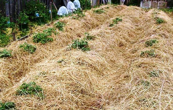 Простая технология выращивания картошки