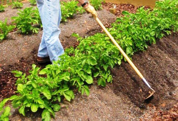 Посадка картофеля на гребнях