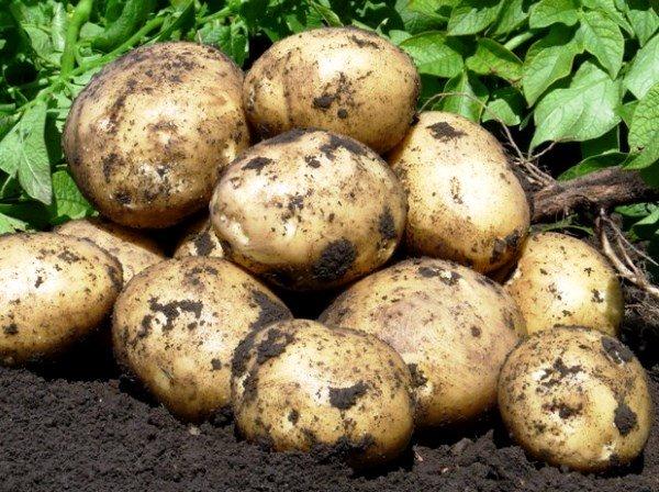 Выращивание картошки голландским методом