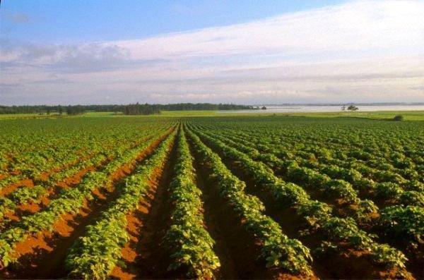 Производство картофеля в промышленных масштабах