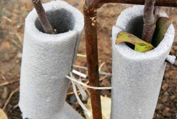 когда закрывать молодые деревья на зиму