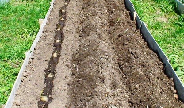 Посадка картошки на гребне