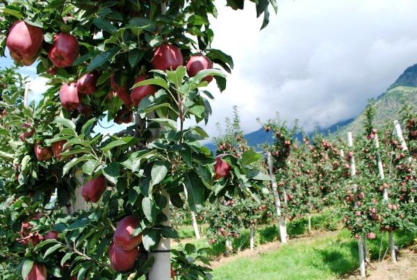 Яблоневый сад из молодых деревьев
