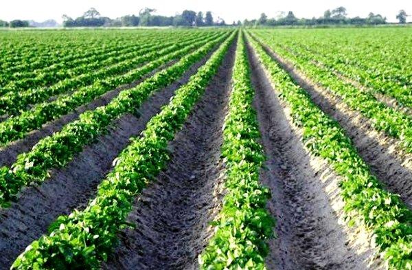 Картофельное поле со всходами