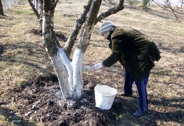 Побелка деревьев с помощью щетки