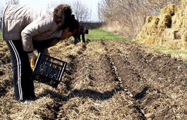 Какие бывают способы посадки картофеля