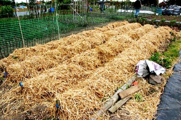 Как сажать картошку под сено