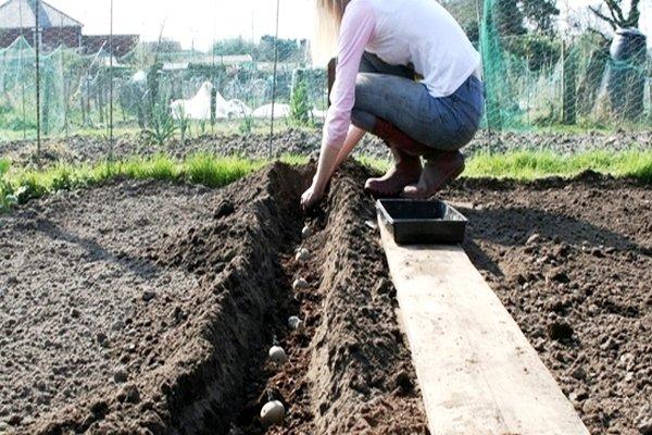 Посадка картошки на пещаных почвах