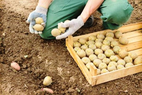 Как и когда сажать картошку