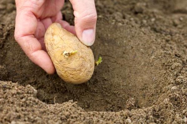Способ посадки картошки в лунки
