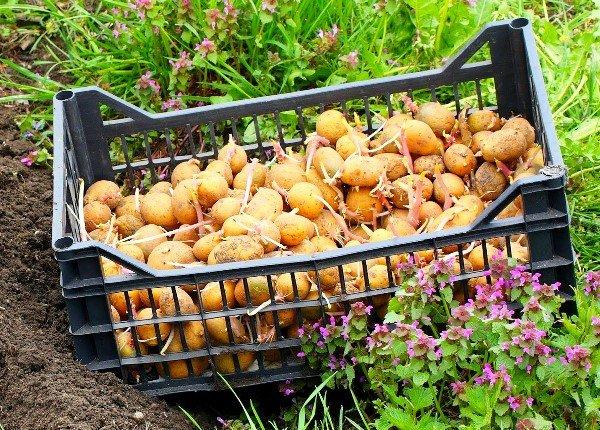 Проросший семенной материал картофеля