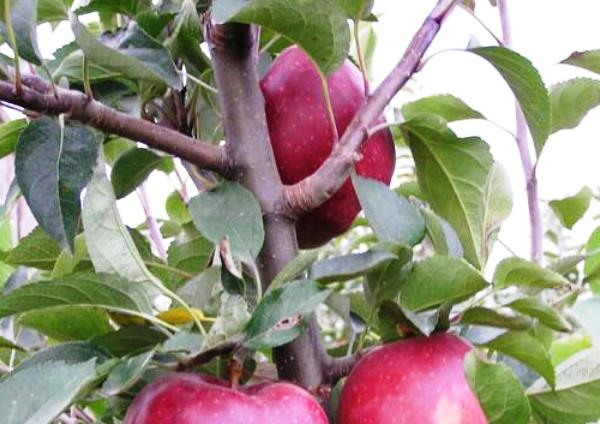 Молодая яблоня с плодами