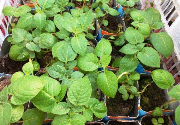 Выращивание картофеля из рассады
