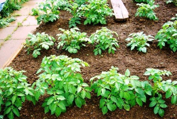 Ручные технологии высадки картошки