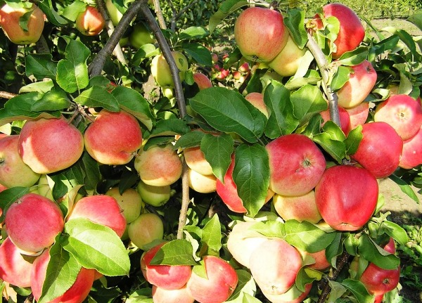 Яблоки на ветках яблони