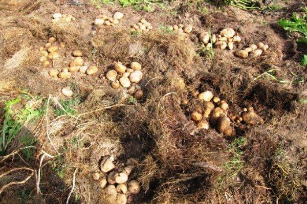 Эффективные способы посадки картофеля