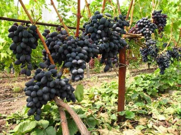 Грозди винограда сорта Черный Кишмиш