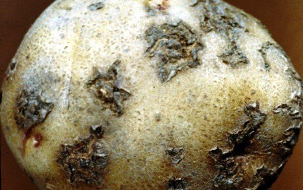 Болезнь картофеля парша порошистая