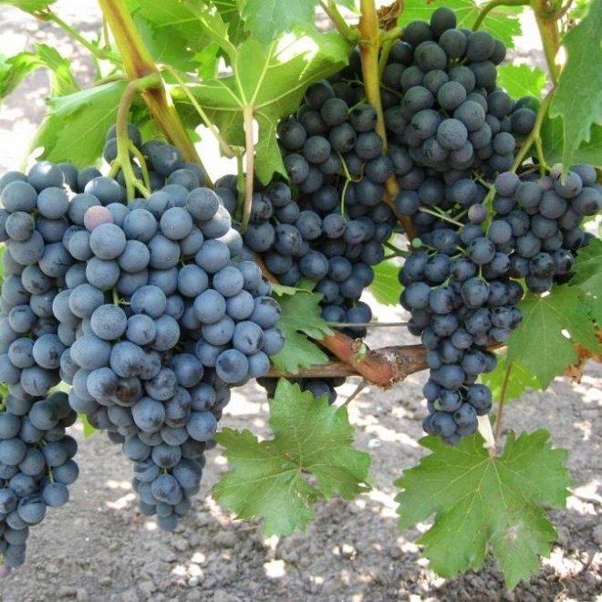 Виноград Кишмиш Чёрный Изумруд
