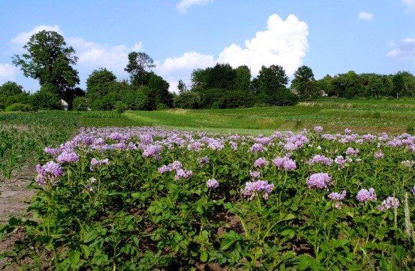 Пора цветения у картофеля