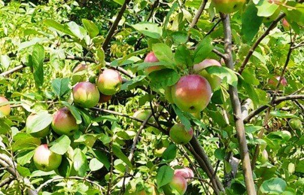 Дерево яблони Пионер Орловской