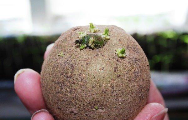 Картофель, готовый к посадке